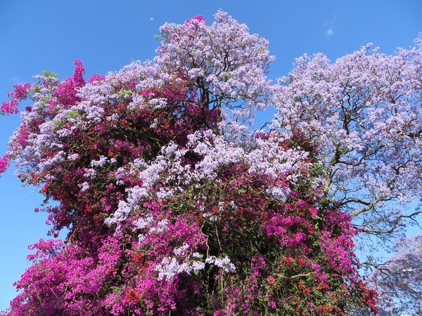 Bougainvillea and Jacarandas mixed for an explosion of color