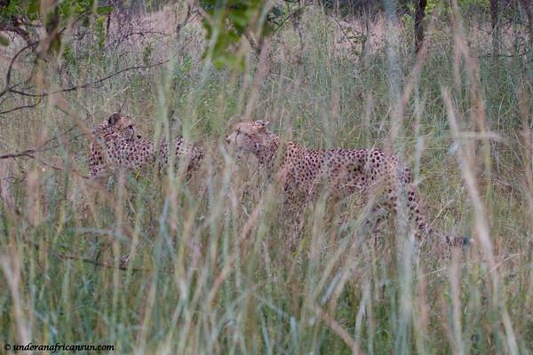 Cheetahs in the long grass