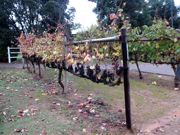Simonsig Wineyards