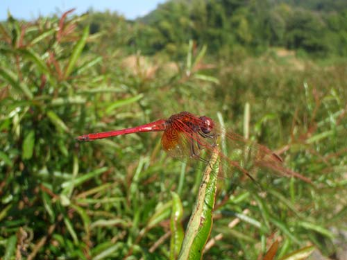 red dragonfly near the Nam Pa River, Laos