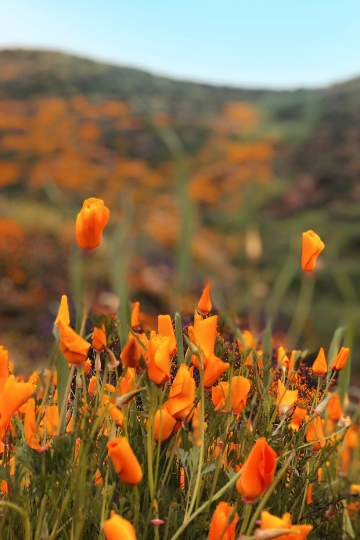 California Poppy Fields | Kelly Golightly