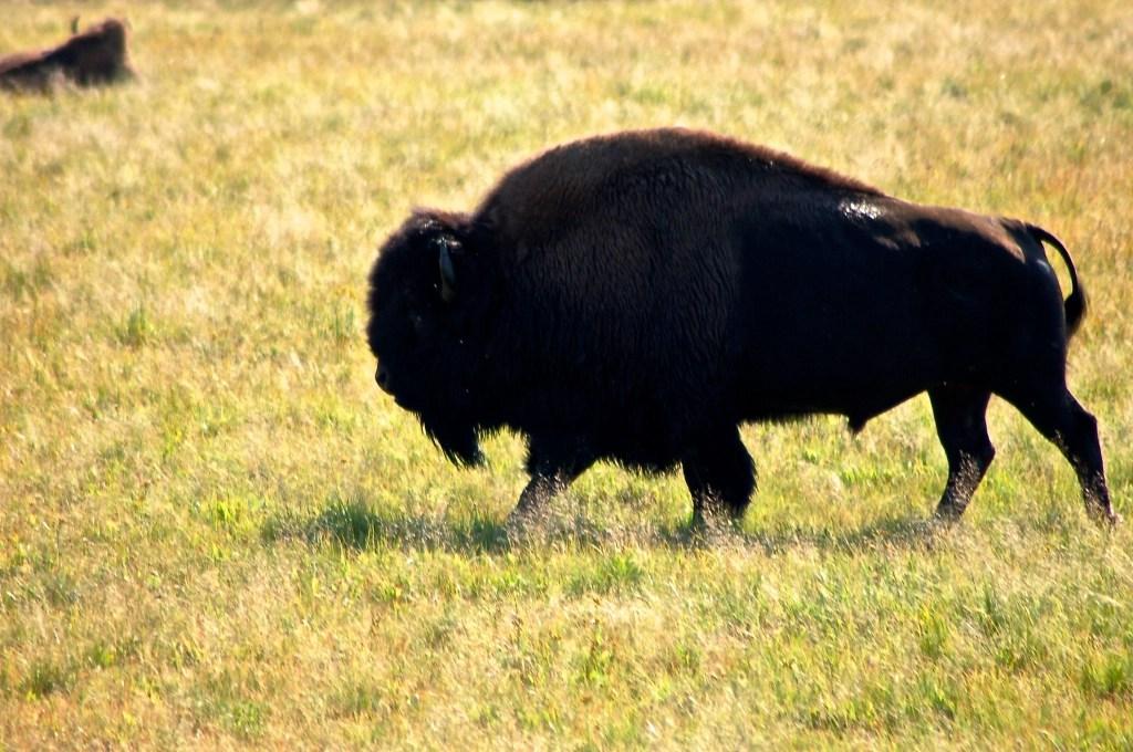 American Bison, YellowstoneNational Park
