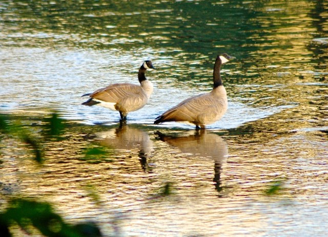 geese at river's edge