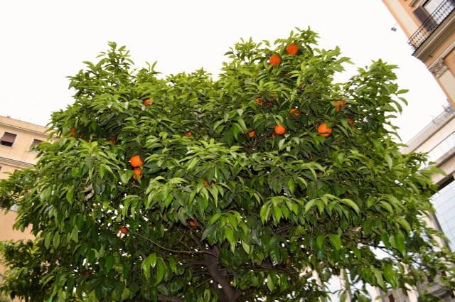 Fruit Filled Orange Tree in Rome