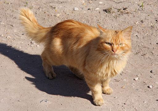 red-cat-copyright-kelly-peloza-photo