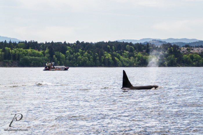 whales-vancouver-0003