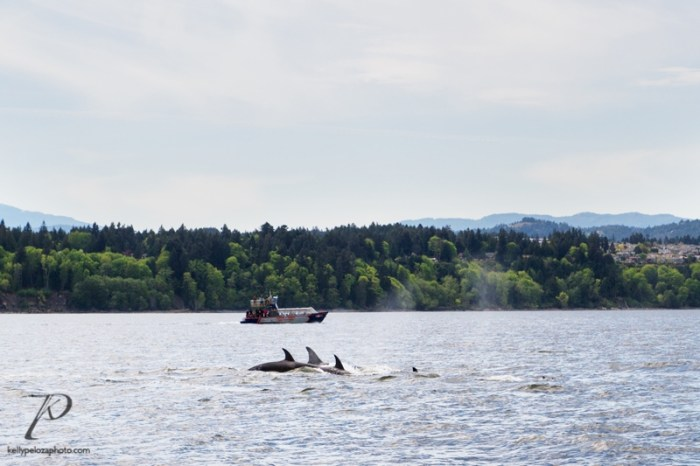 whales-vancouver-0005
