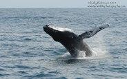 Humpback whale (Tear)