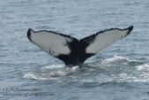 Humpback whale (Salt)