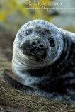 Weaned grey seal pup