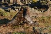 Grey seals fighting