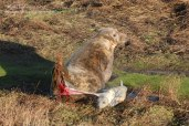 Grey seal birth