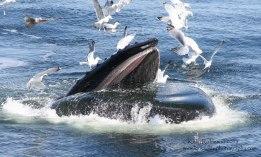 Humpback whale (etch-a-sketch)