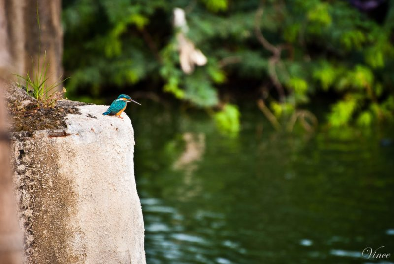Common_Kingfisher_Relaxing