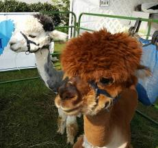 Alpaccas