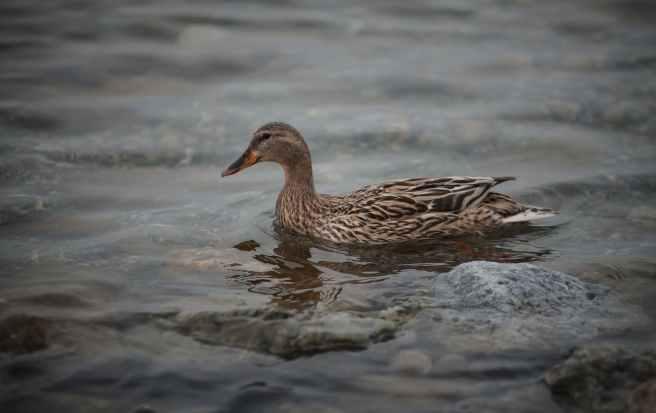 brown duck in body of water