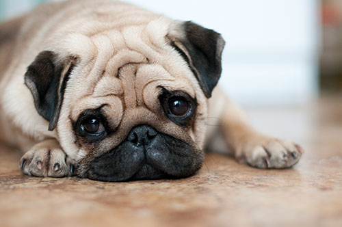 Dog with sad eyes