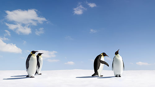 Penquins trying to resolve conflict