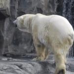 Alaska Polar Bear