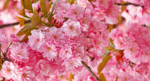 beautiful_pink_japanese_sakura_tree-wallpaper-960x540