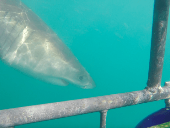 How to Save Money on Great White Shark Cage Diving in South Africa