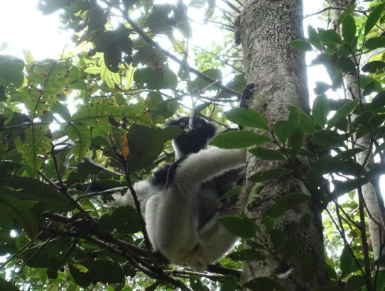 Andasibe National Park - Doing A Lemur Safari In Analamazotra