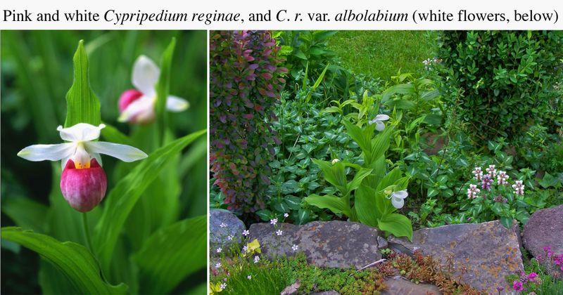 Cyprepedium