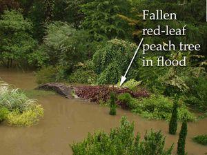 Fallen_peach