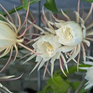 Night-Blooming Cereus with Ken