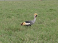 Grey-crowned crane, the national bird of Uganda