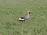 Grey-crowned crane, the national bird of Uganda