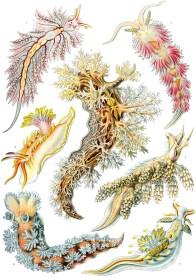 Nudibranchia