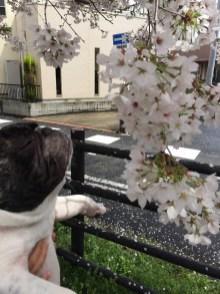 2017年4月のたろさん 目を閉じてお花見を堪能