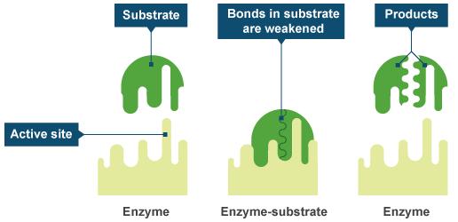 酵素の効果ってどうなの?消化と代謝の酵素を知ろう!