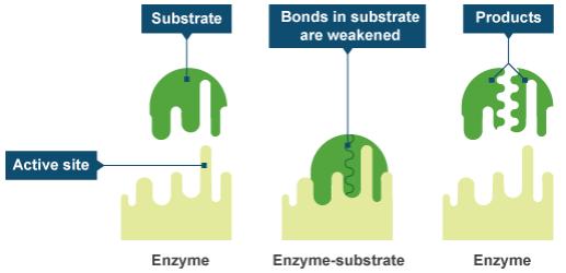 4b0c36dcdbdf3ec8feedee7f62d7092c997e7beb 300x145 - 酵素の効果ってどうなの?消化と代謝の酵素を知ろう!