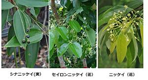 クスノキ科ニッケイ3種