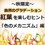紅葉(黄葉)のもみじ・銀杏はなぜ赤くなるの?色づく気温や条件・メカニズムに糖分が必要な理由