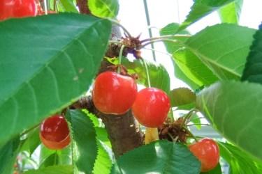 さくらんぼの種を発芽させて育てるのは難しい?ポイントは?