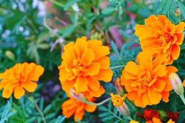 家庭菜園のオクラ栽培にはコンパニオンプランツを使おう
