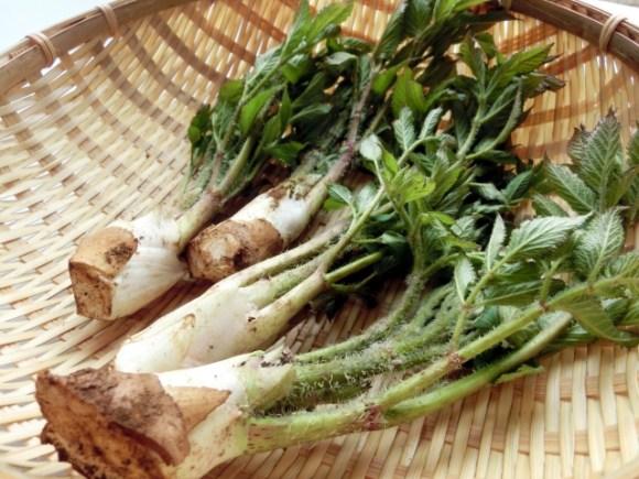 うどなど春の山菜を味わおう!味噌和えや炒めもの他レシピ集