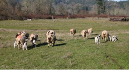 web-ewes-and-lambs.jpg