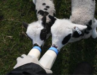 web-bottle-lambs