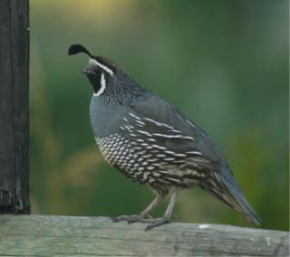 web quail 2