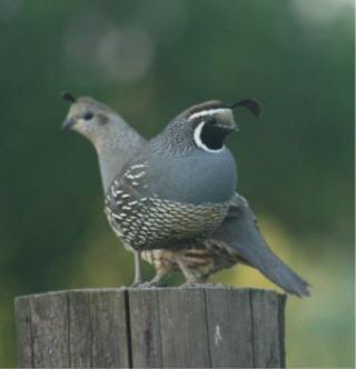 web quail 4