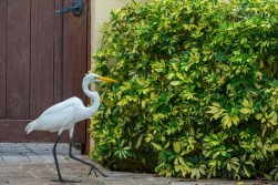 White Egret V