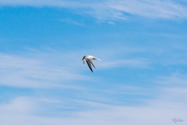 A Catch By Tern VI