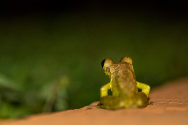 Cuban Tree Frog 5