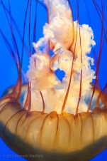orange jellyfish against blue background