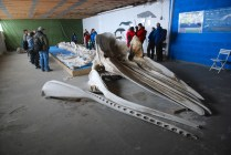 Skelett av en kaskelott, Andenes valmuseum