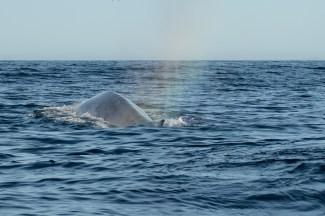 Ett sista utblås och sedan höjer blåvalen ryggen lite högre över ytan ett ögonblick innan den dyker ner i djupet.